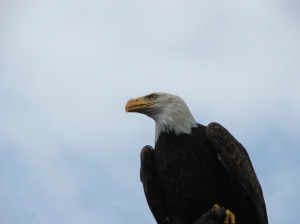 Bald eagle Annechien Broekmeijer