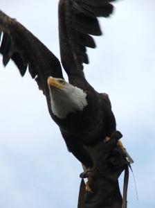 Bald eagle klaar voor vlucht